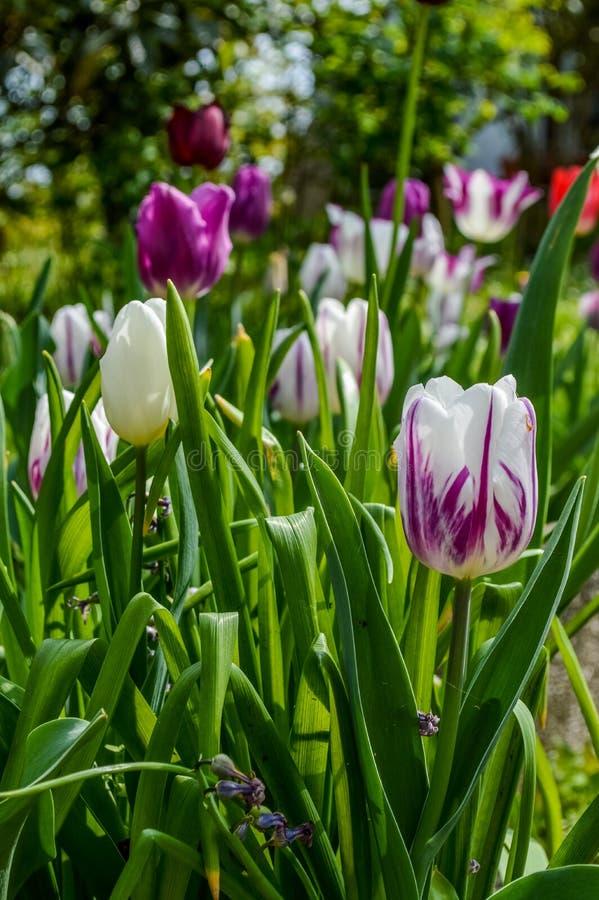 Gruppo di tulipani variopinti in primavera fotografia stock libera da diritti