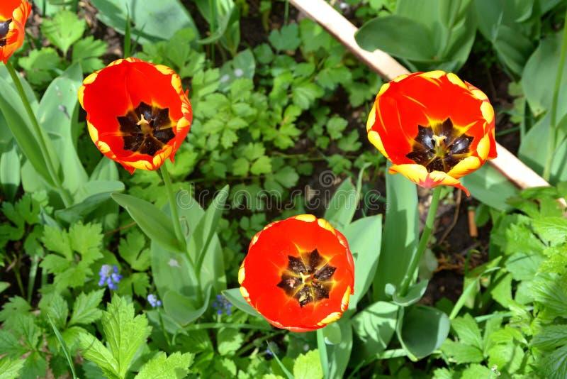 Gruppo di tulipano e di gocce di acqua Fiori piacevoli nel giardino nella met? dell'estate, in un giorno soleggiato fotografia stock