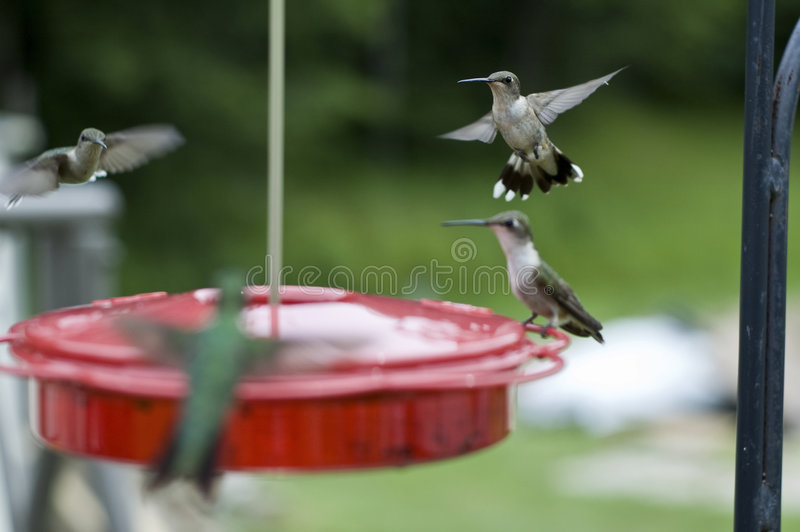 Gruppo di uccelli di ronzio immagini stock libere da diritti