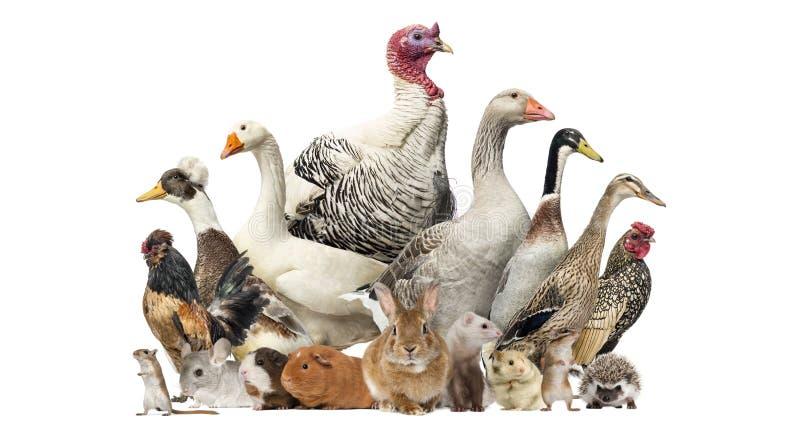Gruppo di uccelli e di roditori dell'azienda agricola, isolato immagini stock libere da diritti