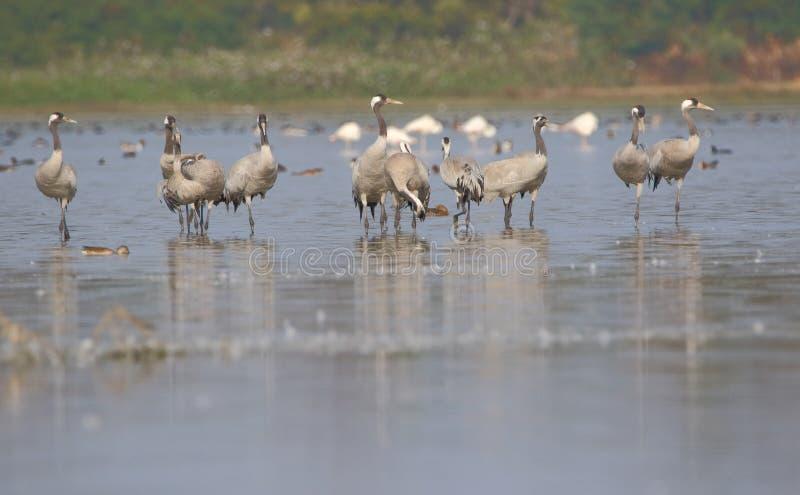Gruppo di uccello comune della gru immagini stock libere da diritti
