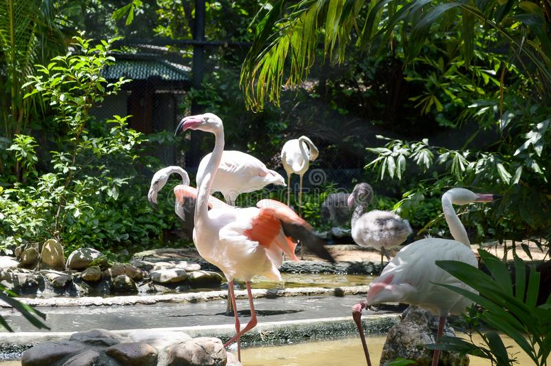 Gruppo di uccello del fenicottero fotografia stock