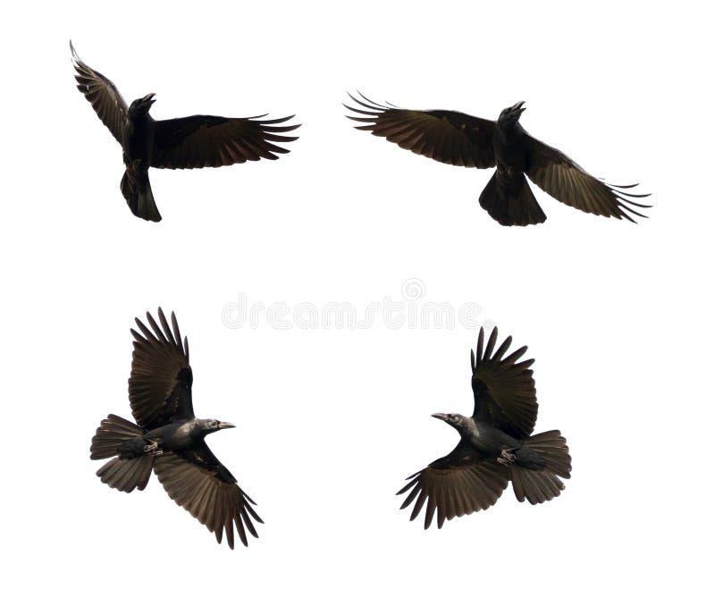 Gruppo di volo nero del corvo sul fondo bianco animale fotografia stock