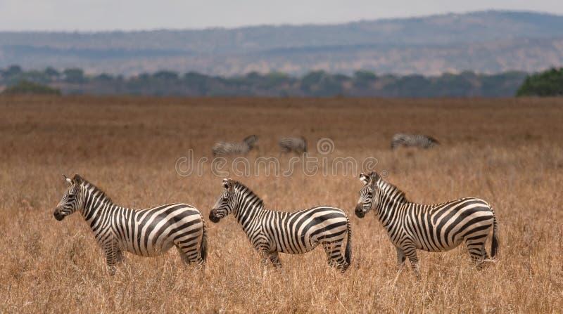 Gruppo di zebre nel parco nazionale di Tarangire fotografia stock