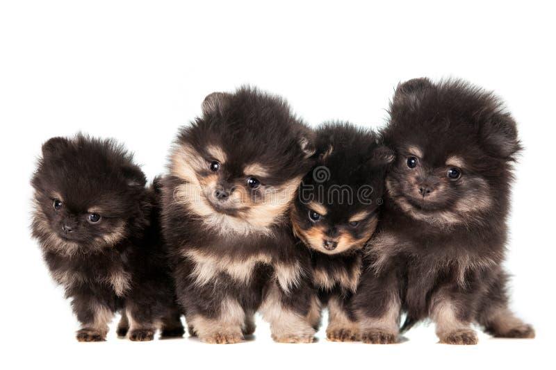 Gruppo divertente dei cuccioli di Pomeranian fotografie stock libere da diritti