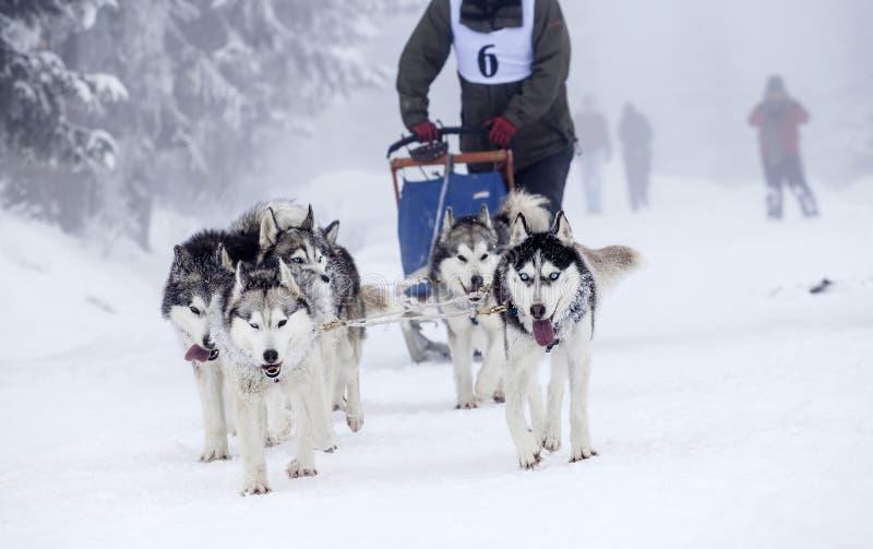 Gruppo entusiasta dei cani in una corsa sledding del cane immagine stock libera da diritti