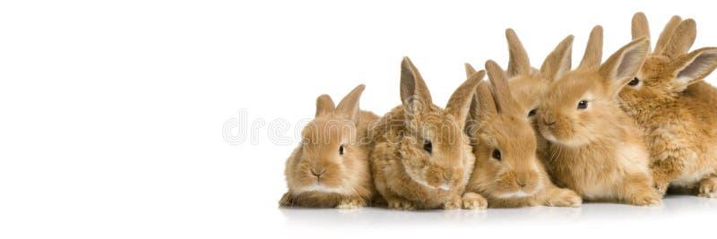 Gruppo spaventato di coniglietti fotografia stock