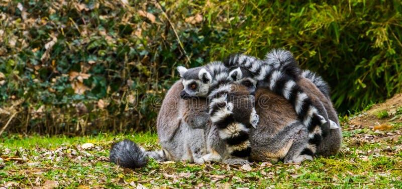 Gruppo vicino di scimmie delle lemure catta che si abbracciano, comportamento animale divertente ed adorabile immagini stock
