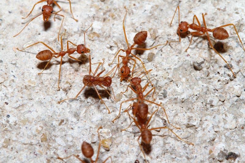 GruppOecophylla smaragdina Fabricius & x28; röd ant& x29; på golv arkivbilder