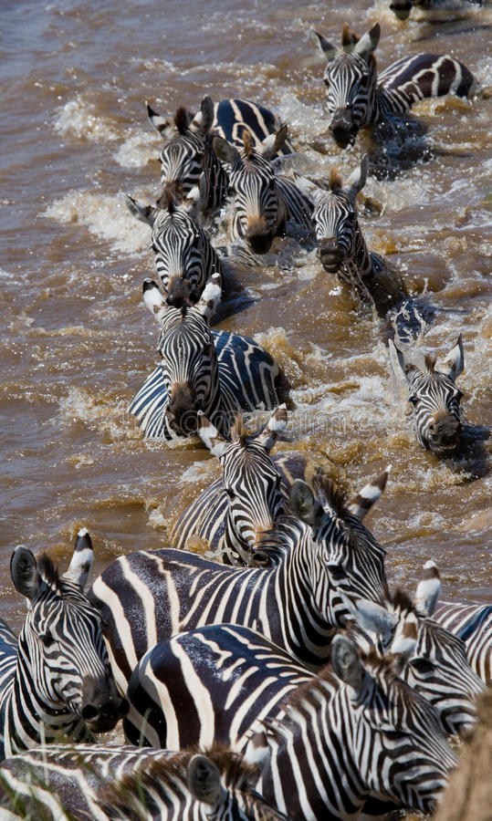 Gruppzebramarkering floden Mara kenya tanzania Chiang Mai serengeti Maasai Mara fotografering för bildbyråer