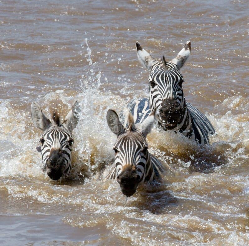 Gruppzebramarkering floden Mara kenya tanzania Chiang Mai serengeti Maasai Mara royaltyfria foton