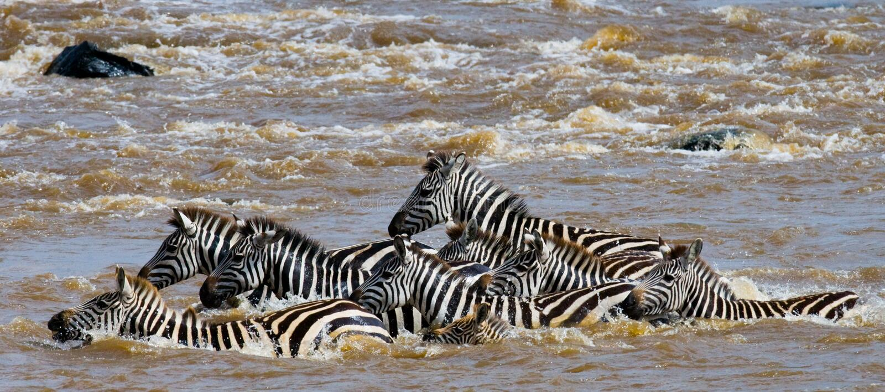 Gruppzebramarkering floden Mara kenya tanzania Chiang Mai serengeti Maasai Mara royaltyfria bilder
