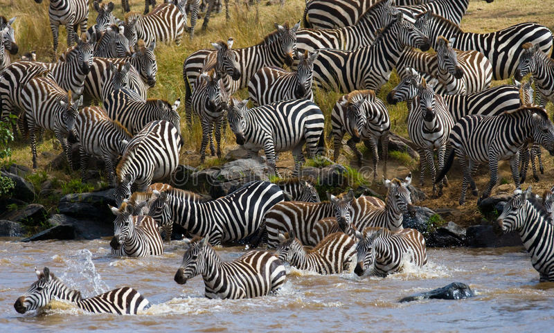 Gruppzebramarkering floden Mara kenya tanzania Chiang Mai serengeti Maasai Mara arkivbild