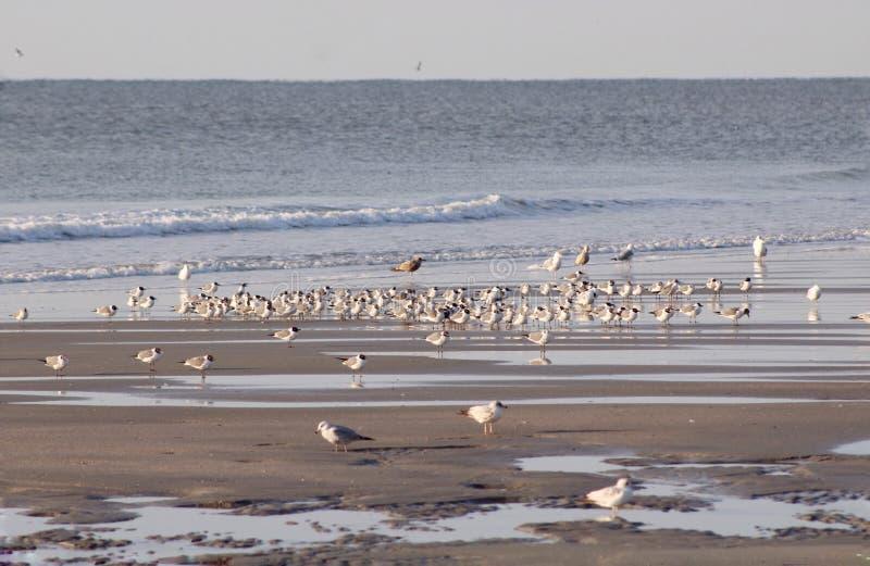 Grupy ptasi odprowadzenie plaża obraz royalty free