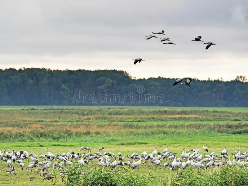 Grus Grus γερανών στη στηργμένος περιοχή στη δυτική περιοχή λιμνοθαλασσών Pomerania στοκ εικόνα με δικαίωμα ελεύθερης χρήσης