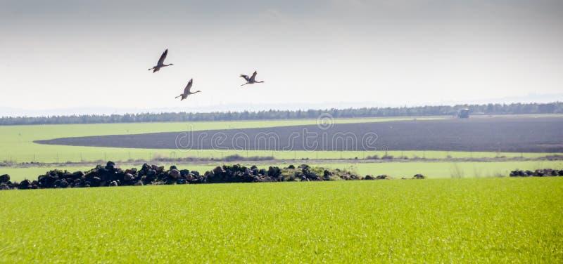 Grus летая Grus кранов проникать общий, над зелеными полями стоковое фото