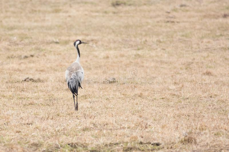 Grus grus. Common crane or grus grus on a meadow in early spring royalty free stock photography