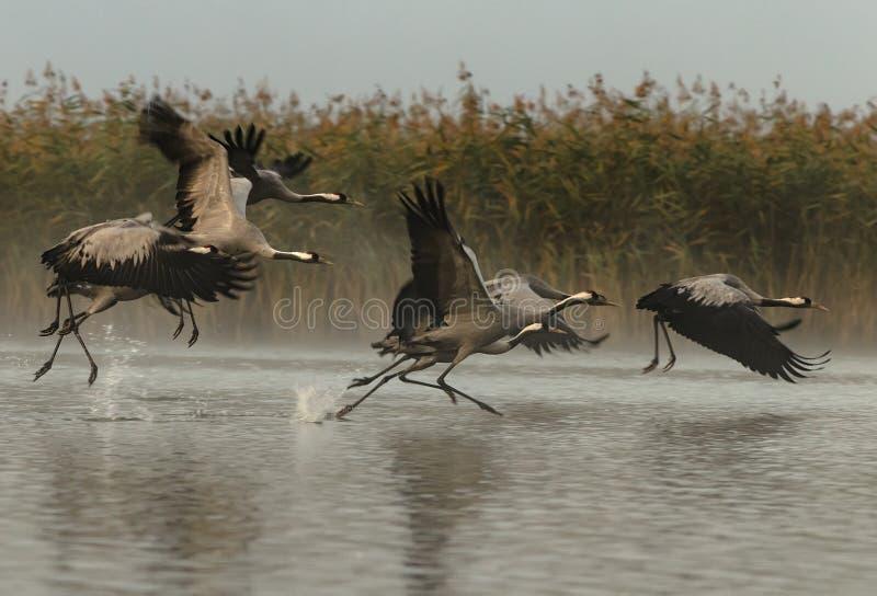 Grus de Grus de grues se levant pour un vol dans le matin brumeux images stock