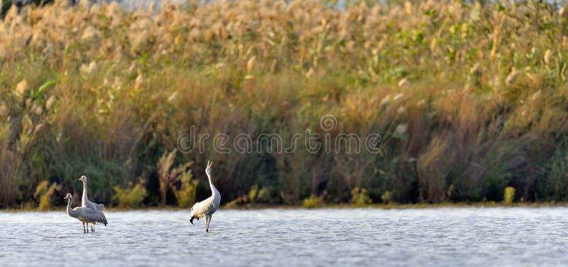 Grus die van kraanvogelsgrus zich in de vijver bevinden Rietachtergrond Vroege ochtend stock afbeelding