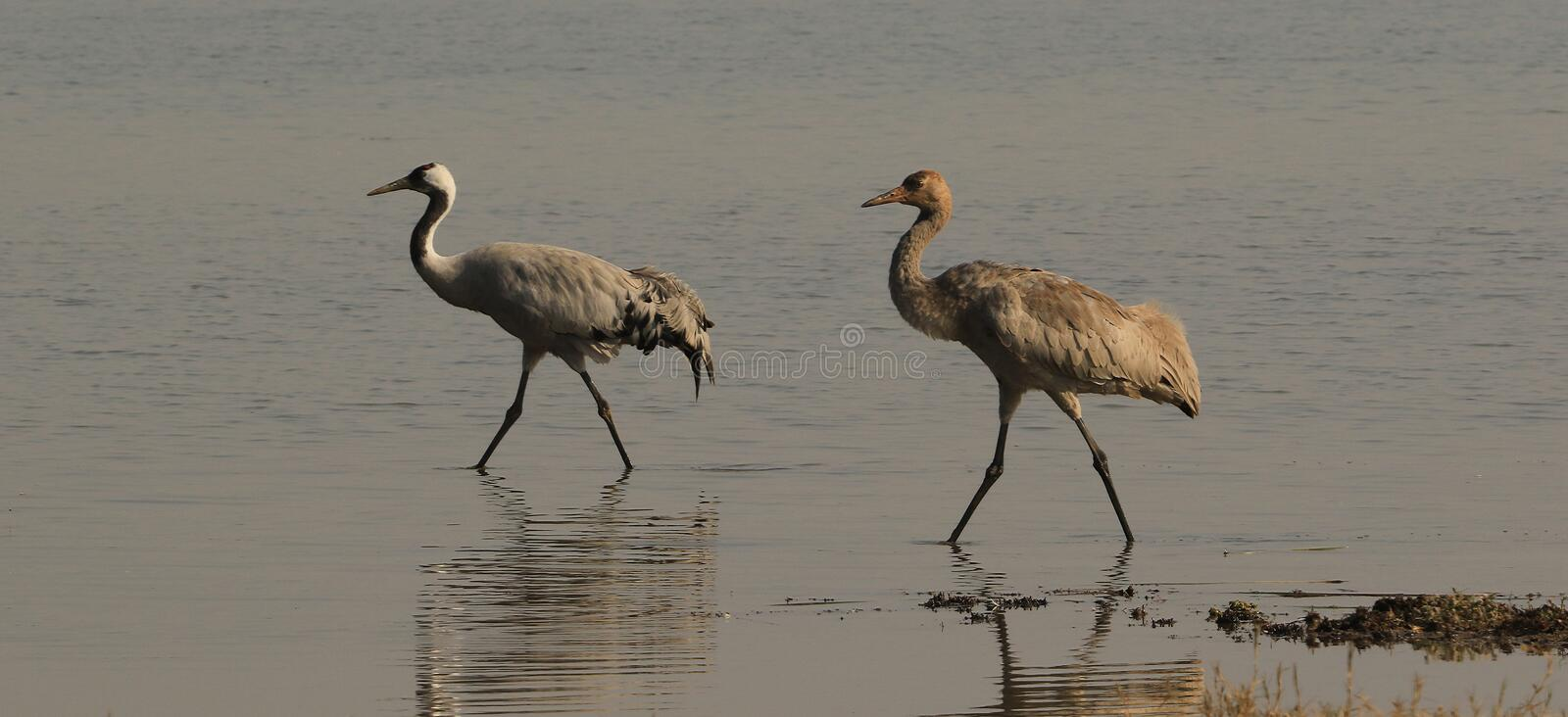 Common Cranes - Little Rann of Kutch stock images