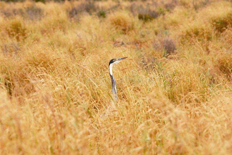 Download Grus in the grass stock photo. Image of crane, neck, pitch - 23460702