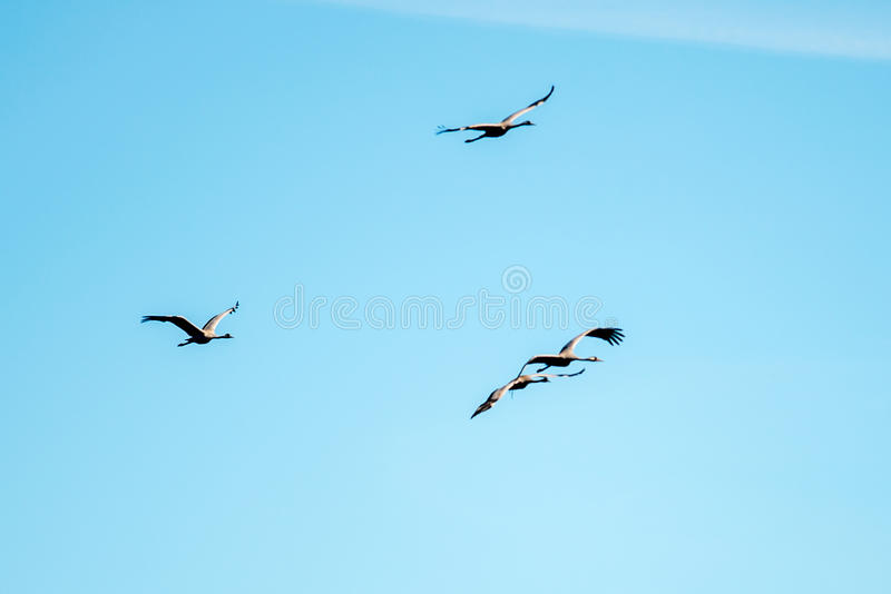 Grus grus. Common Crane Grus grus or Kranich group fly in blue sky royalty free stock image