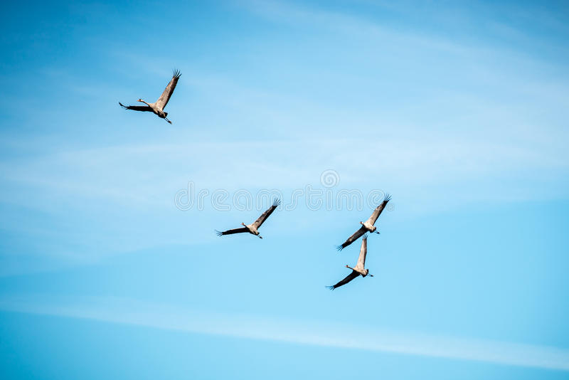 Grus grus. Common Crane Grus grus or Kranich group fly in blue sky royalty free stock photos