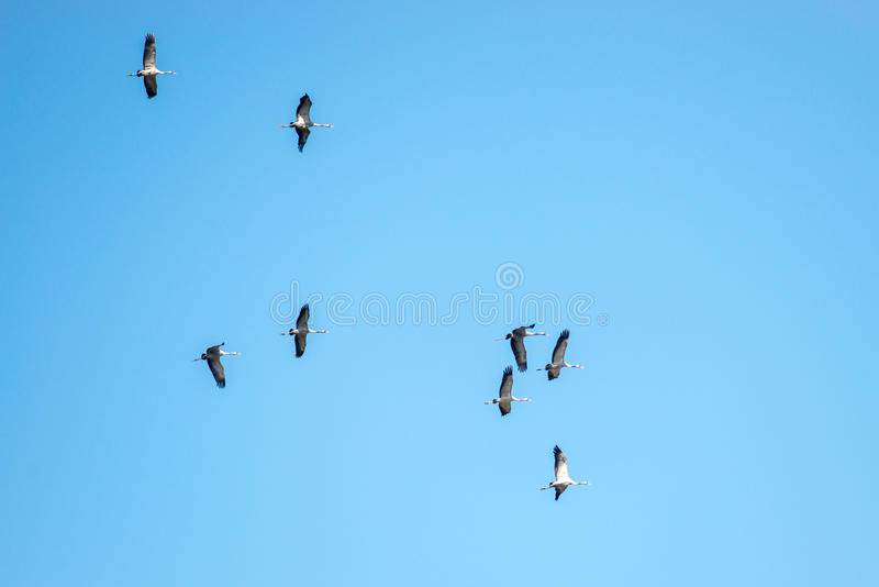 Grus grus. Common Crane Grus grus or Kranich group fly in blue sky royalty free stock photo