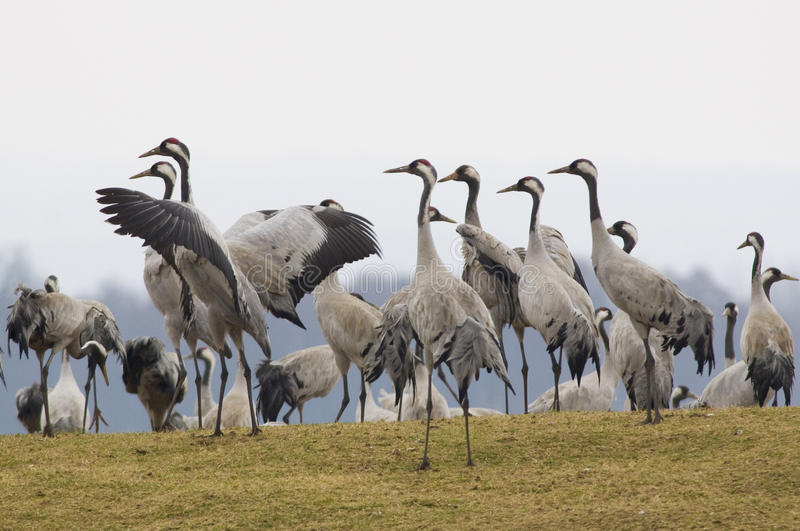 Grus grus or cranes at their breeding area Sweden. Large group of eurasian cranes at their breeding locations in Sweden stock images