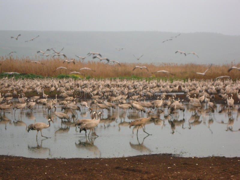 Grus i Hula sjön på skymning, landskap med fåglar i vattnet royaltyfria foton
