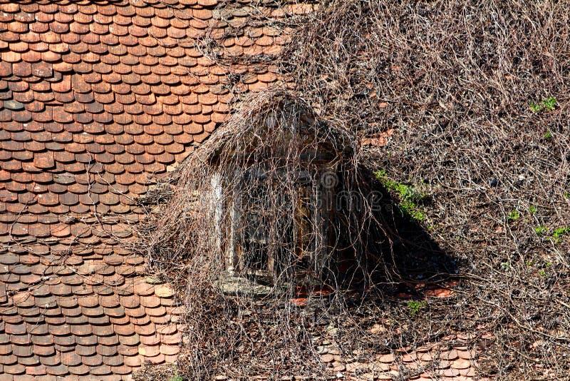 Gruseliges schauendes Dachfenster auf dem alten Landhaus fast vollständig bedeckt mit den getrockneten Raupenanlagen umgeben mit  lizenzfreies stockbild