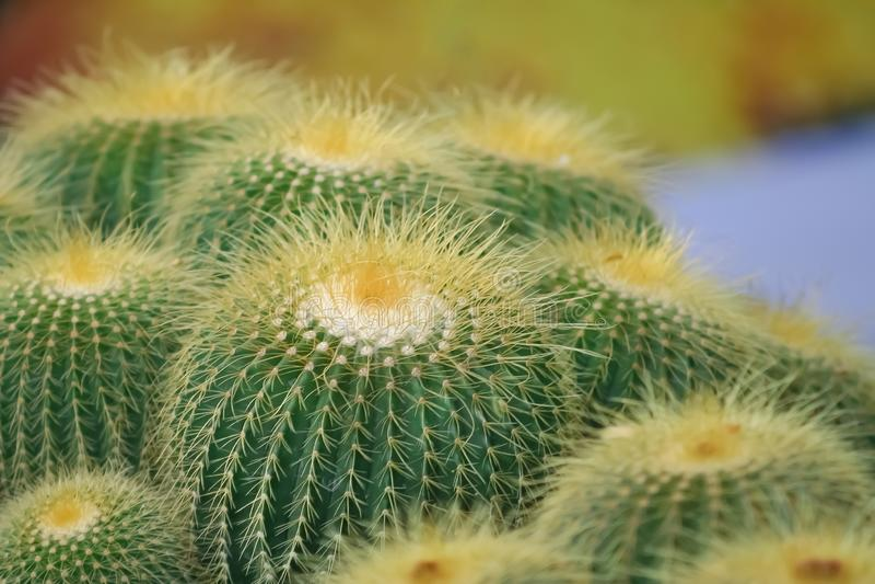 Grusonii de Echinocactus o cactus de barril de oro, planta ornamental del pote fotos de archivo
