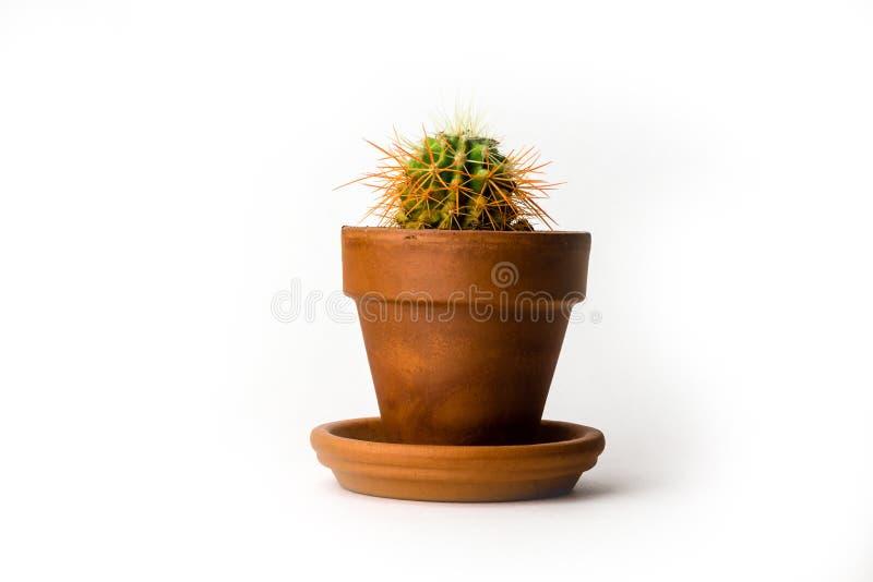 Grusonii Echinocactus также известное как кактус золотого бочонка в баке изолированном на белой предпосылке стоковое изображение