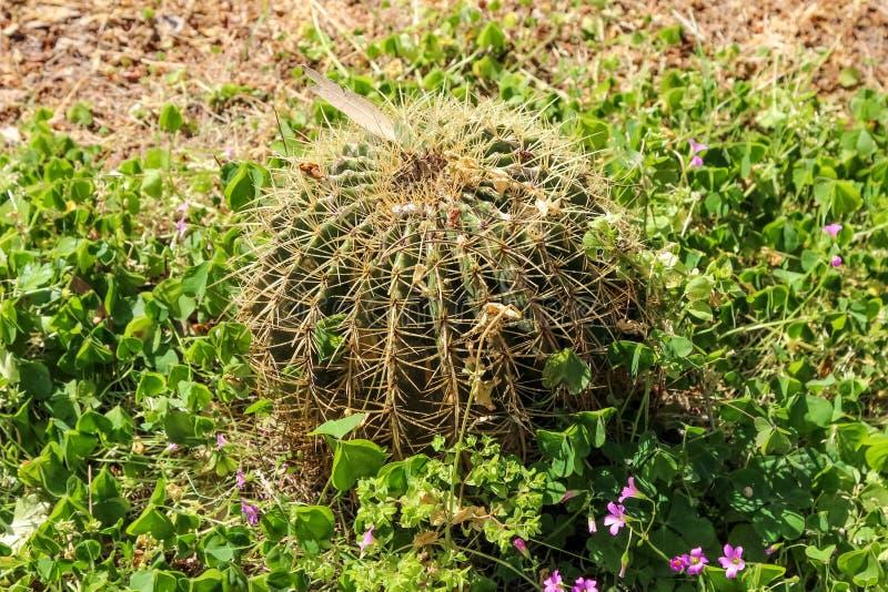 Grusonii Echinocactus κάκτων, γενικά γνωστό ως χρυσός κάκτος βαρελιών, χρυσή σφαίρα στοκ εικόνες με δικαίωμα ελεύθερης χρήσης