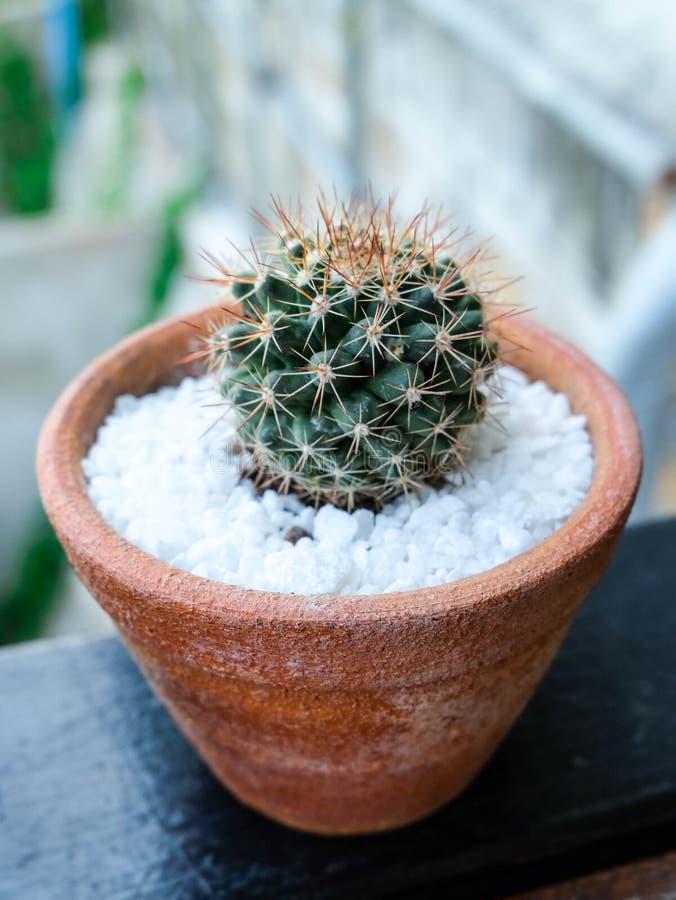 Grusonii Echinocactus или кактус золотого бочонка стоковые фото