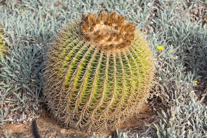 Grusonii Echinocactus, στοκ εικόνες