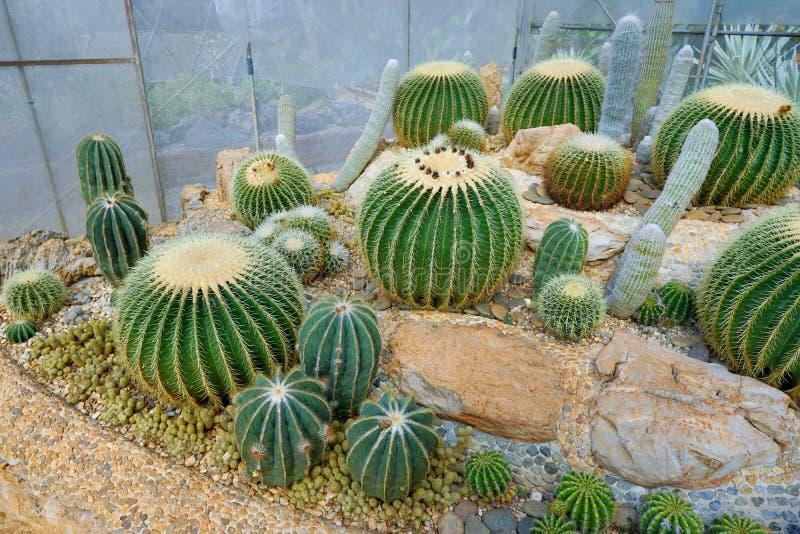 Grusonii verde di echinocactus o del cactus sulla pietra nel giardino botanico fotografie stock libere da diritti