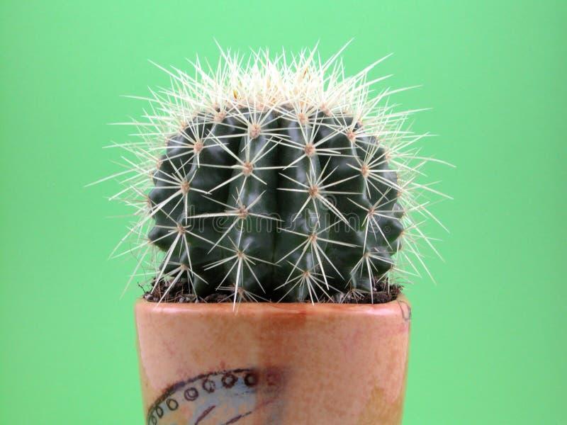 Download Grussoni cactus stock photo. Image of hurt, botanical, spike - 727874
