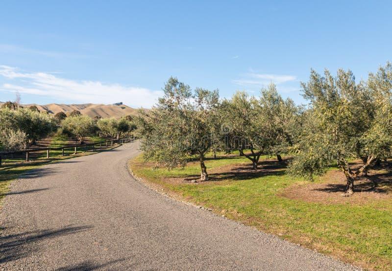 Grusväg över olivgrön dunge med olivträd i Nya Zeeland royaltyfria bilder