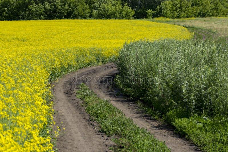 Grusväg bland fältet av blomningcanola arkivfoto