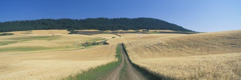 Grusväg till och med vetefält arkivbild