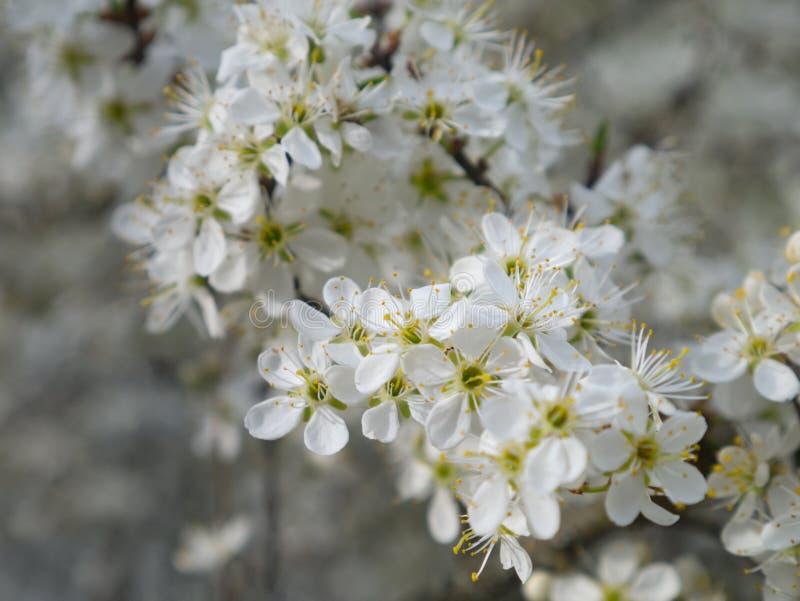 gruszka kwitnąca Gałąź wiosna biali kwiaty zbliżenie fotografia stock