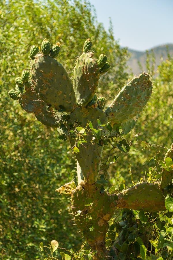 gruszki kłujące Opuntia indica także znać jako indyjskie figi fotografia stock
