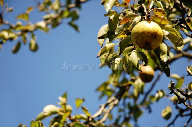 gruszki wiszący drzewo, świeże zdjęcie royalty free