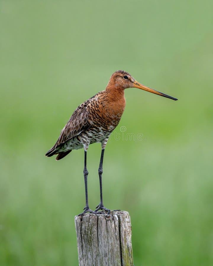 Grutto bevindende stellen het met zwarte staart op een houten pool die het groene moerasland overzien die voedsel zoeken stock afbeelding
