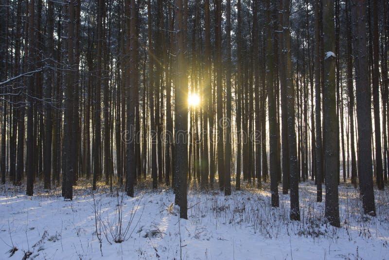 Gry i den snöig skogen för vintern av barrträd royaltyfri foto