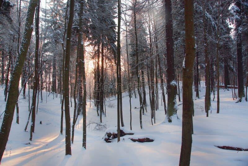 Gry i en snöig skog för vinter från lövfällande träd royaltyfri foto