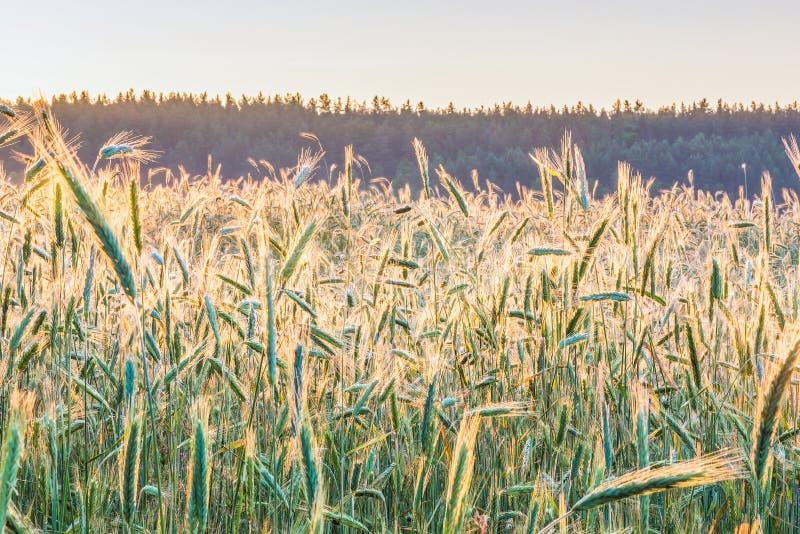 Gry på våren vetefältet i den Kyiv regionen, Ukraina arkivbilder