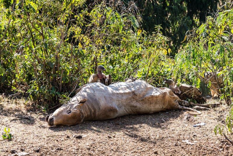 Gryfonu s?p je nie?ywej krowy w Etiopia Gyps fulvus obrazy stock
