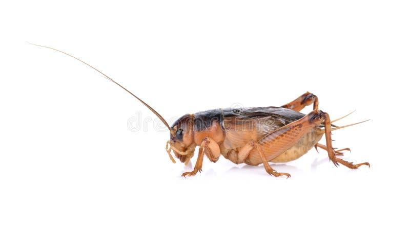 Gryllidae,在白色背景隔绝的直翅类 库存照片